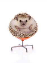 Hedgehog Sitting On Chair.