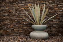View Of  Agave Americana Plant In A Vase.