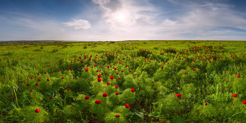 Fototapeta Summer meadow with wild peonies flower