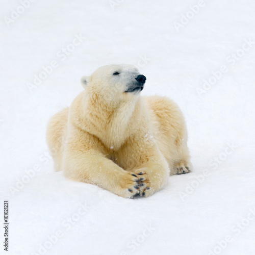 Tuinposter Ijsbeer Polar bear on white snow