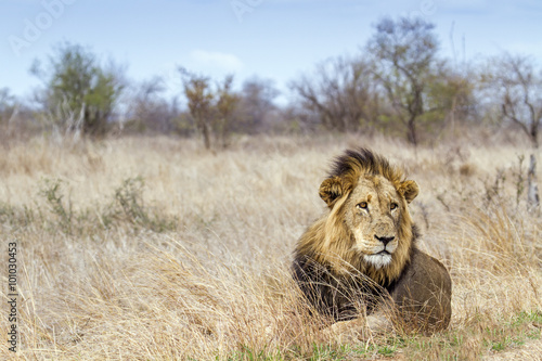 obraz dibond Lion in Kruger National park