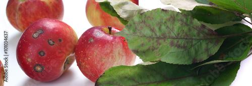 Fototapeta Venturia inaequalis - apple scab obraz