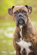 Boxer Dog Next To The River
