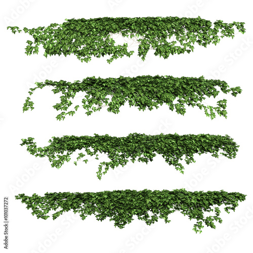ivy leaves isolated on a white background. Wallpaper Mural