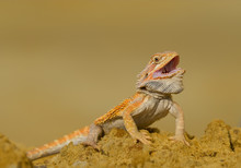 Central Bearded Dragon Sitting On Yellow Rock With Open Mouth And Clean Yellow Background