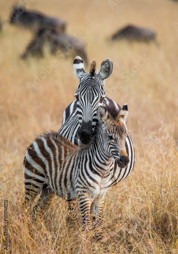 Foto op Plexiglas Zebra Zebra with a baby. Kenya. Tanzania. National Park. Serengeti. Maasai Mara. An excellent illustration.