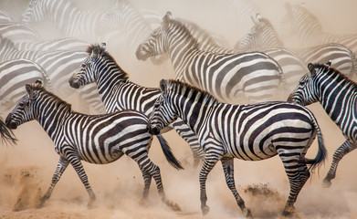 Fototapeta na wymiar Group of zebras in the dust. Kenya. Tanzania. National Park. Serengeti. Maasai Mara. An excellent illustration.