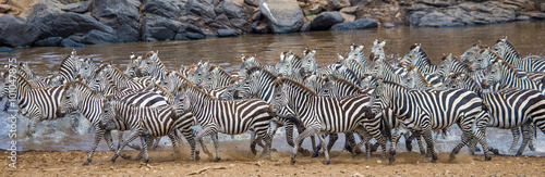 Poster Zebra Big herd of zebras standing in front of the river. Kenya. Tanzania. National Park. Serengeti. Maasai Mara. An excellent illustration.