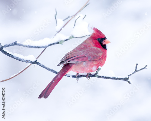 Photo  Male Cardinal perched on branch in the Snow