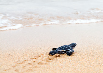 Newly hatched baby  leatherback turtles and its footprint in the
