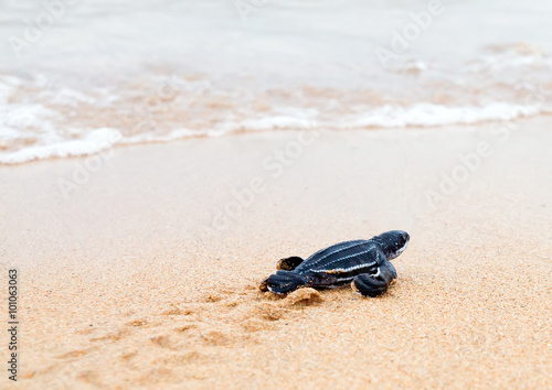 Foto op Aluminium Schildpad Newly hatched baby leatherback turtles and its footprint in the