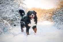Bernese Mountain Dog On The Wa...