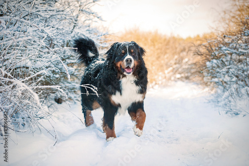 Bernese mountain dog on the walk in winter Canvas Print
