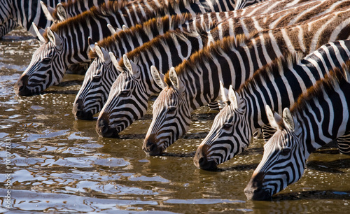 Photo Stands Zebra Group of zebras drinking water from the river. Kenya. Tanzania. National Park. Serengeti. Maasai Mara. An excellent illustration.