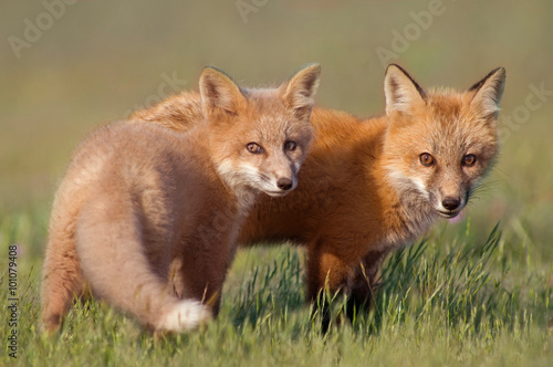 Animal Friends.   Two young Foxes playing together in field Poster