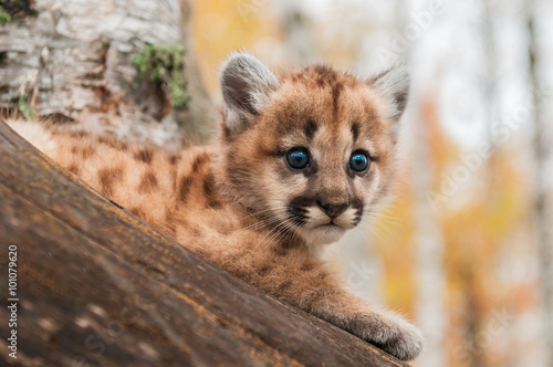 Tuinposter Puma Female Cougar Kitten (Puma concolor) Looks Out