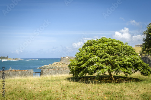 Photo  Caesalpinia coriaria is known as Divi-divi, Cascalote, Guaracabu
