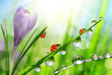 Fototapeta Do Spa Spring flower Crocus and ladybugs on green grass with dew drops. Nature background.