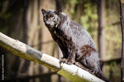 Tuinposter Panter Panther