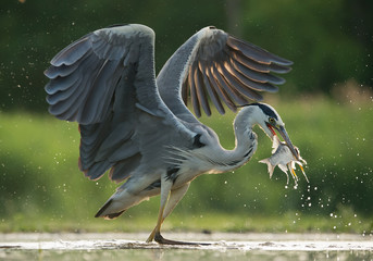 Grey heron in the water, fishing, with fish in the beak, with water drops in green background, Hungary, Europe