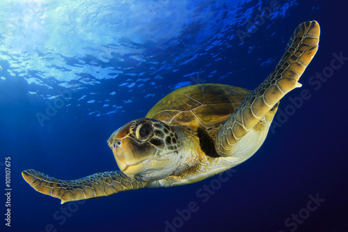 Photo sur Toile Tortue Green Turtle