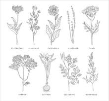 Medical Herbs Vector Set. Hann...