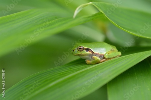 Tuinposter Kikker 笹の葉に雨蛙