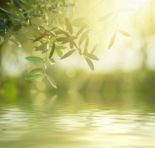 Olive Tree With Leaves, Natural Sunny Agricultural Food  Background With Water Reflection