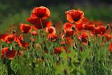 Fototapeta Papavers - Pełnia kwitnienia