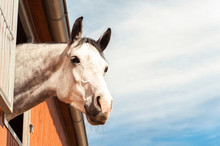 Portrait Of Thoroughbred Gray ...