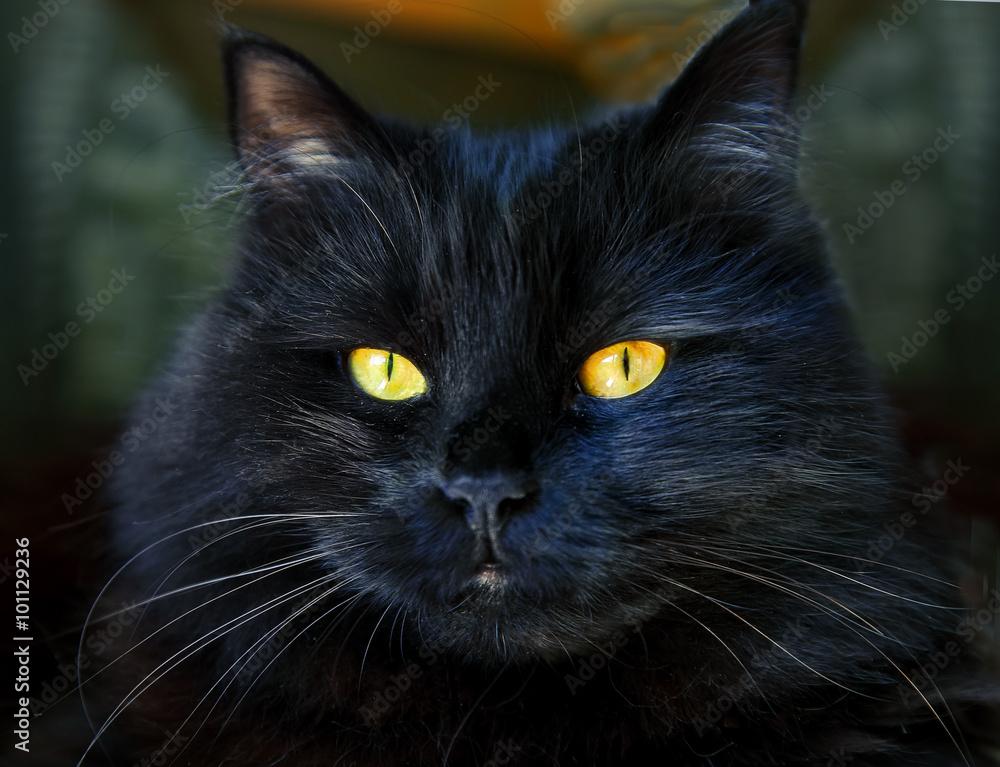 černá a mexická kočička