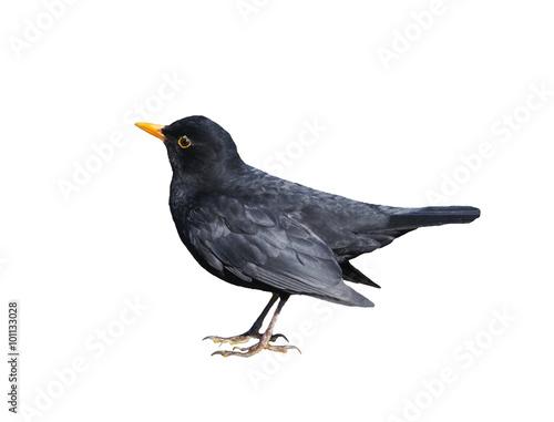 Blackbird Isolated on White Canvas Print