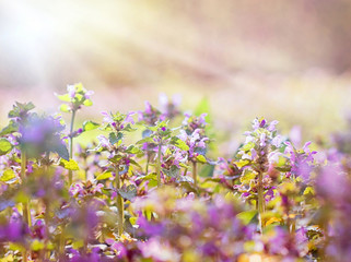 Fototapeta Purple meadow flowers lit by sun rays in spring