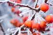 canvas print picture - Zieräpfel bei Frost