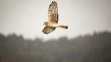 Wild Hawk Flying Over Forest, ...