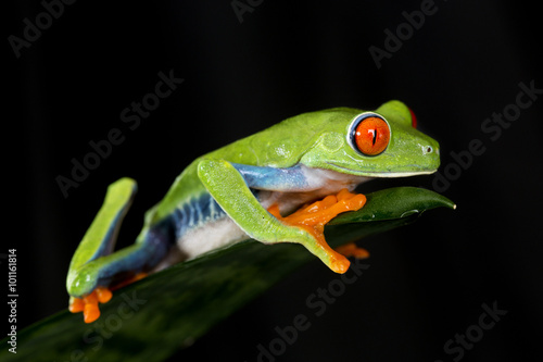 Tuinposter Kikker Red Eyed Tree Frog on Green Leaf