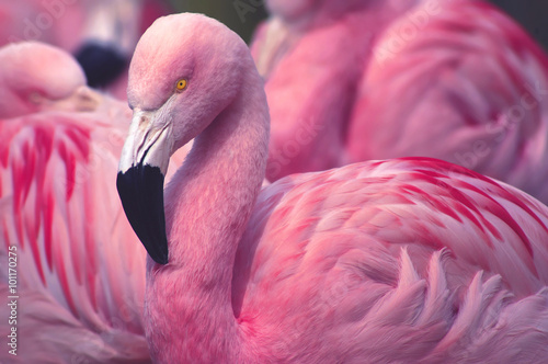 Fotobehang Flamingo Chilean Flamingo
