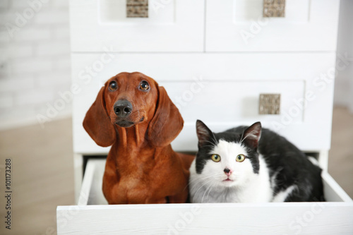 Photo  Beautiful cat and dachshund dog sitting in chest of drawers