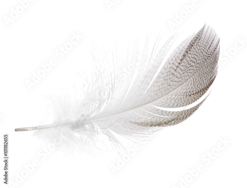 striped seagull feather isolated on white