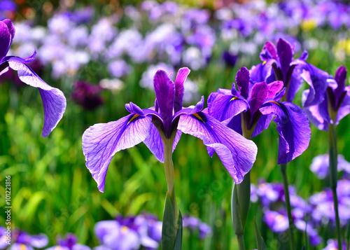 Spoed Foto op Canvas Iris 花菖蒲 初夏, Japanese iris, blooming early in summer, Kyoto Japan.