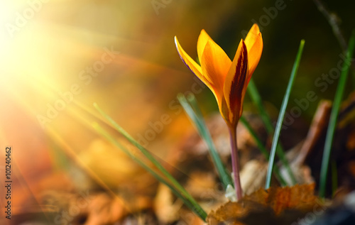 Photo sur Aluminium Crocus One of the very first flowers to herald in spring, yellow crocus
