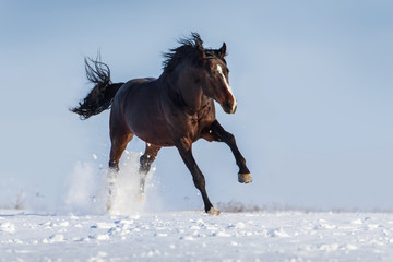 Bay horse with long mane run gallop in snow