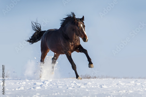 Photo  Bay horse with long mane run gallop in snow