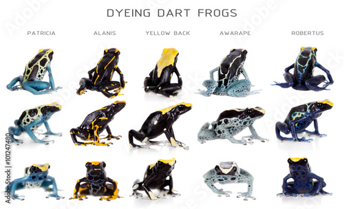 Spoed Foto op Canvas Kikker Dyeing poison dart frogs set, Dendrobates tinctorius, on white