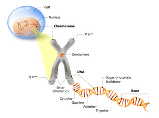 FototapetaCell, Chromosome, DNA and gene