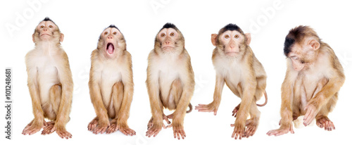 Photo sur Toile Singe Juvenile Pig-tailed Macaque, Macaca nemestrina, on white