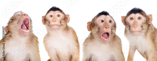 Foto op Canvas Aap Juvenile Pig-tailed Macaque, Macaca nemestrina, on white