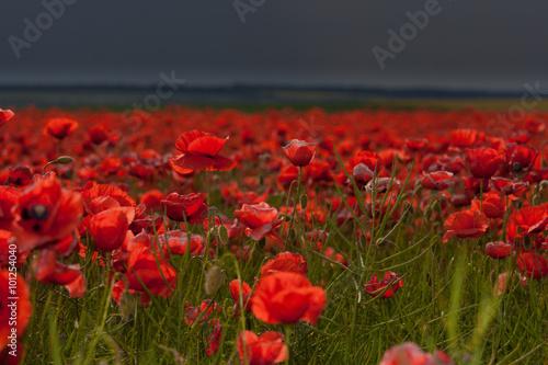 Fototapeta Flowers - a field of red poppies obraz na płótnie