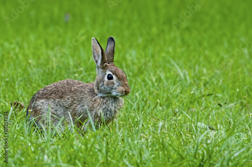 Photo  Wild rabbit feeding in green grass.