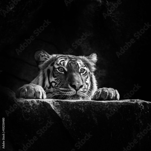Photo sur Toile Bestsellers tiger